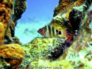 hawkfish , 15ft=/- no flash,full frame by Christopher Lynch 
